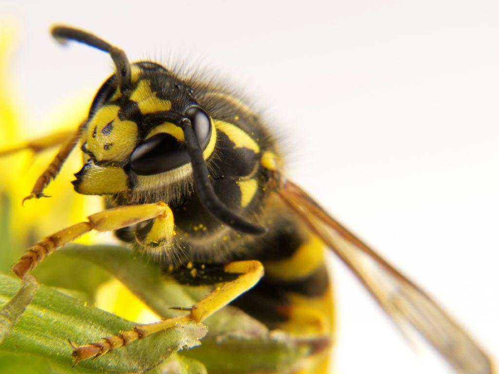 زنبور گزیدگی .