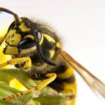 زنبور گزیدگی /زنبور گزیدگی را با درمان های فوری و خانگی آرام کنید.