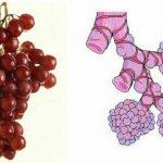 میوه ها و اعضای بدن انسان / شباهت شگفت انگیز میوه ها و اعضای بدن انسان