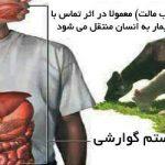 بیماری بروسلوز | علت , علائم و درمان بیماری بروسلوز