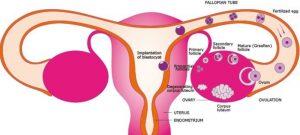 درد تخمک گذاری چیست؟